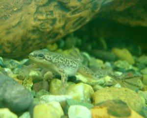 Гименохирус - истинно аквариумная лягушка