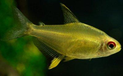 Аквариумные рыбки. Семейство харациновые