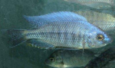 Боадзулу Nyassachromis boadzulu (lies, 1960)
