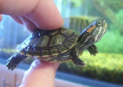 Водные черепахи