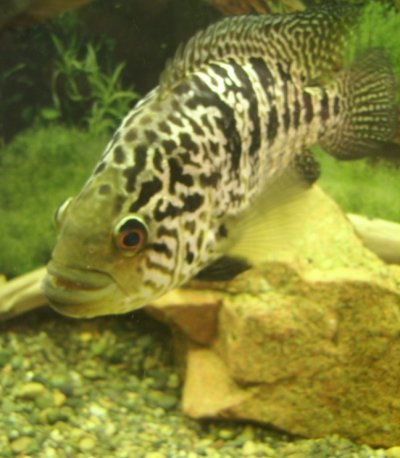 Манагуанская цихлазома. Parachromis managuensis.