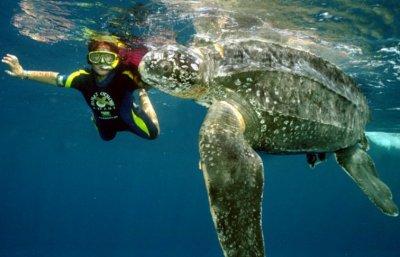 Кожистая черепаха Dermochelys coriacea