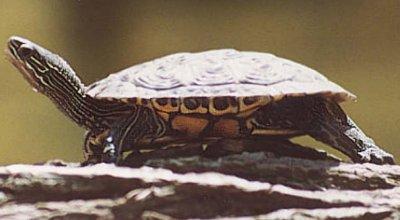 Черепахи: болотная и каспийская