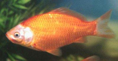Ваш аквариум. Золотая рыбка