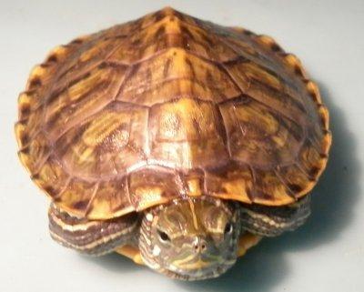 Основные ошибки содержания красноухих черепах