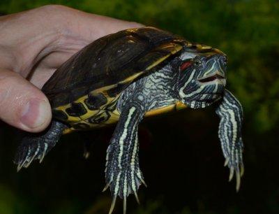 Ваш домашний питомец – черепаха