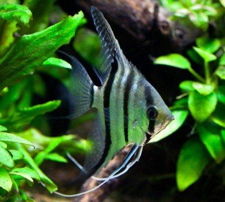 Скалярии в домашнем аквариуме